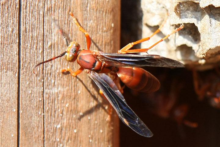 giant red wasps view topic crosstimbersgazette com
