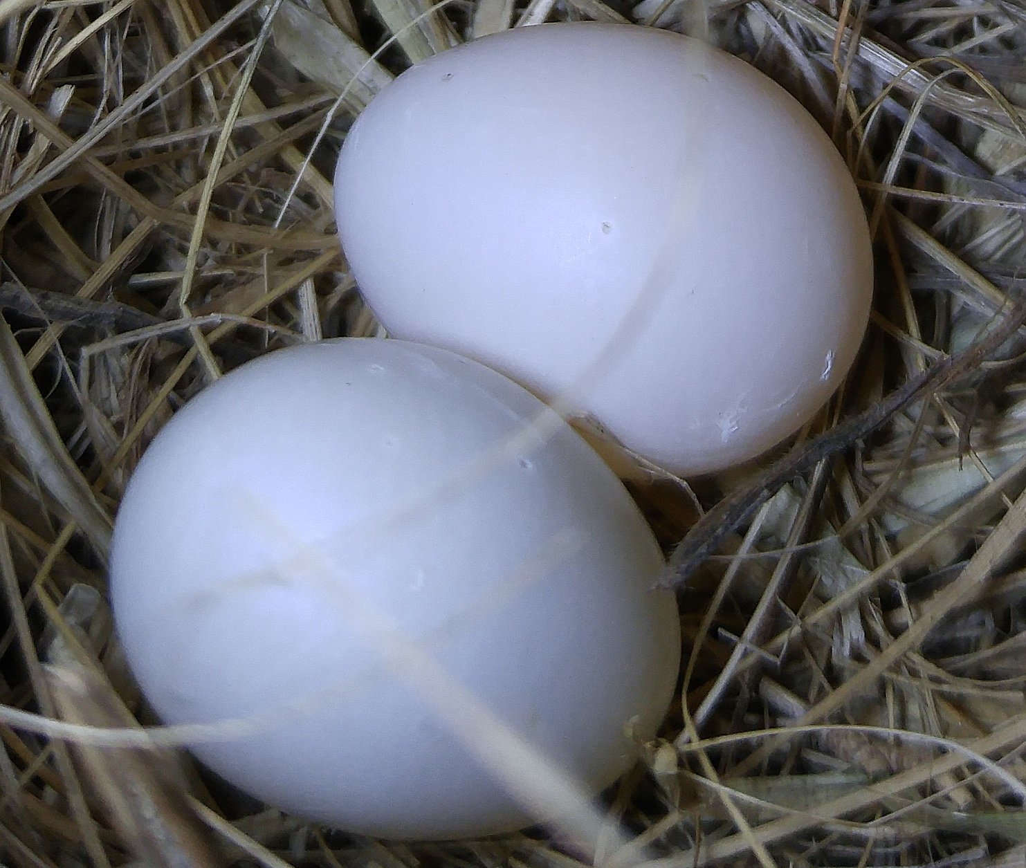 Pale bluebird eggs with dents